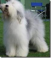 O Scrum Master atua como um Sheepdog